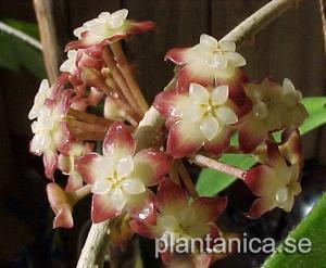Hoya finlaysonii orotad köp hos Plantanica