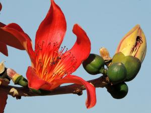 Bombax ceiba - Silkesträd - frö köp hos Plantanica