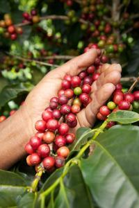 Coffea arabica - kaffe - frö köp hos Plantanica