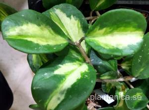 Hoya obovata variegata - rotad köp hos Plantanica