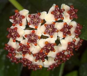 Hoya kerrii pubescent rotad köp hos Plantanica