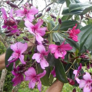 Meriania nobilis - frö köp hos Plantanica
