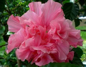 Hibiscus mutabilis - bomullsros - bomullshibiscus - frö köp hos Plantanica