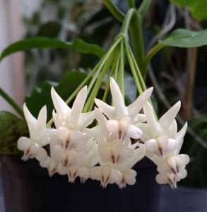 Hoya lockii planta köp hos Plantanica