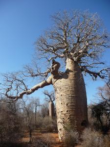 Adansonia digitata - baobab - elefantfotträd - frö köp hos Plantanica
