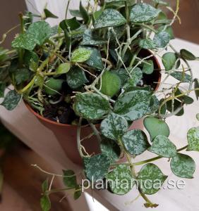 Hoya curtisii - rotad köp hos Plantanica