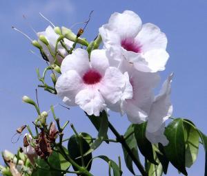Pandorea jasminoides rosea - Rosa Jasmin Pandorea - frö köp hos Plantanica
