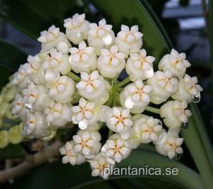 Hoya pachyclada white - rotad köp hos Plantanica