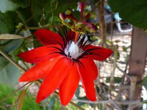 Passiflora coccinea - frö köp hos Plantanica