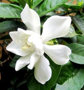 Gardenia jasminoides - frö köp hos Plantanica