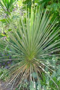 Yucca glauca - frö köp hos Plantanica