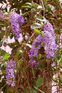 Petrea volubilis - frö köp hos Plantanica