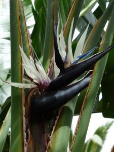 Strelitzia nicolai - Vit paradisblomma - frö köp hos Plantanica