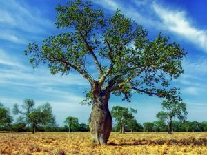 Ceiba pentandra - Kapokträd - Silkesträd - frö köp hos Plantanica