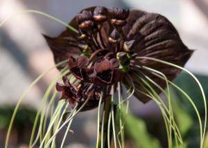 Tacca chantrieri - frö köp hos Plantanica