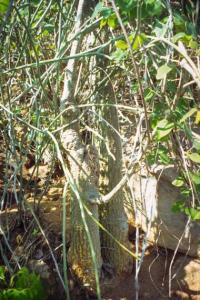 Adenia isaloensis - frö köp hos Plantanica
