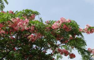 Cassia javanica subsp. nodosa - Äppelbloms cassia - frö köp hos Plantanica