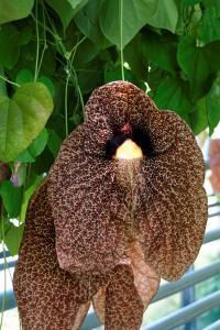 Aristolochia elegans - Sidenpipranka- frö köp hos Plantanica