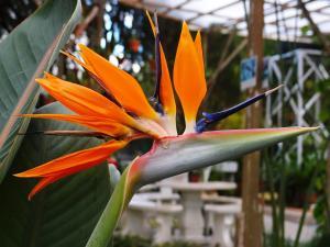 Strelitzia reginae - Papegojblomma - frö köp hos Plantanica