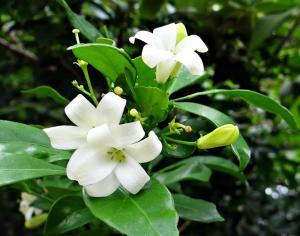 Murraya paniculata - frö köp hos Plantanica