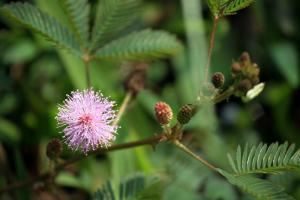 Mimosa pudica - Rör mig ej - frö köp hos Plantanica
