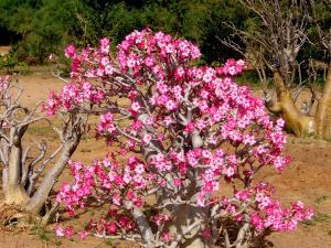 Adenium obesum - Ökenros - frö köp hos Plantanica