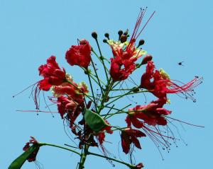 Caesalpinia pulcherrima - Påfågelblomma - frö köp hos Plantanica