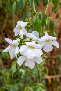 Pandorea jasminoides alba - Vit Jasmin Pandorea - frö köp hos Plantanica