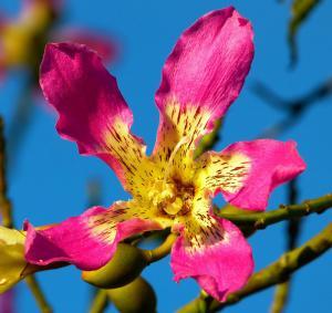 Ceiba speciosa - frö köp hos Plantanica