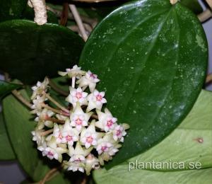 Hoya sp NS 07-216 - orotad köp hos Plantanica