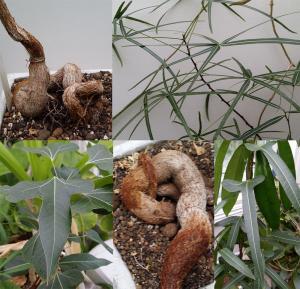 Brachychiton populneus - frö köp hos Plantanica
