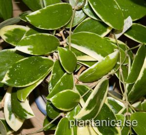 Hoya verticillata albomarginata rotad köp hos Plantanica
