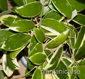 Hoya verticillata albomarginata orotad köp hos Plantanica