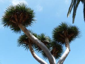 Dracaena draco - Drakblodsträd - frö köp hos Plantanica