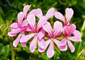 Pelargonium capitatum - Bollpelargon - frö köp hos Plantanica