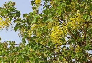 Cassia fistula - Falskt kanelträd - frö köp hos Plantanica