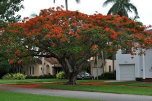 Delonix regia - Flamboyant - Flamträd frö köp hos Plantanica