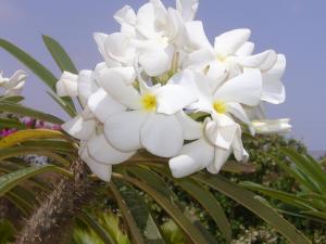 Pachypodium lamerei -ökenstjärna - frö köp hos Plantanica