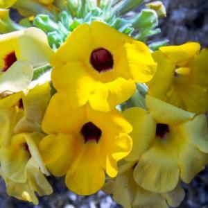 Uncarina peltata - frö köp hos Plantanica
