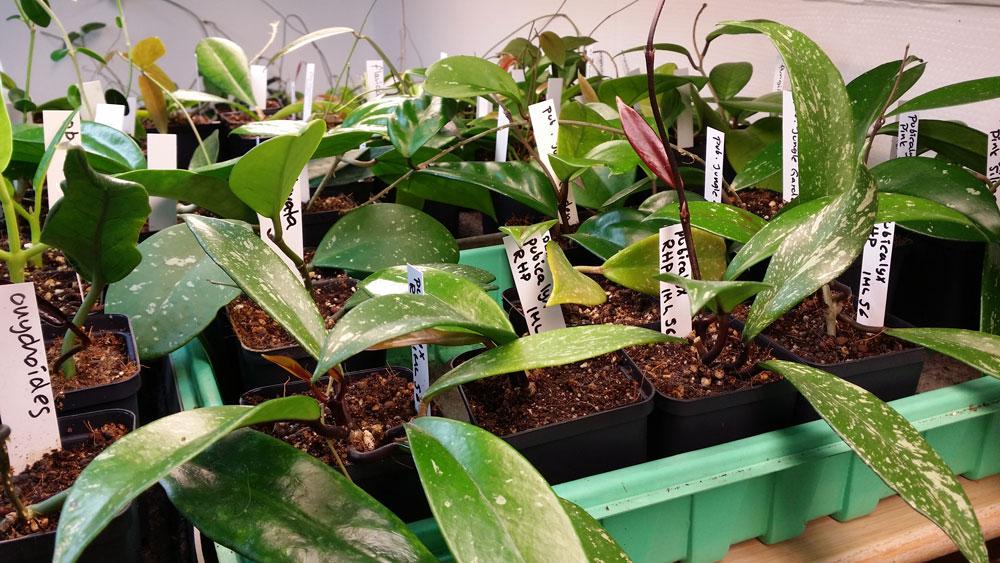 Plantanica Webshop Med Hoya Frö Suckulenter Odlingstillbehör