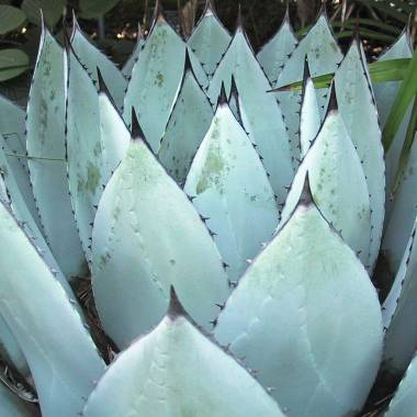 Agave parryii Very Hardy Agave 10 Seeds #9383