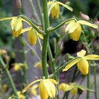 Albuca shawii - frö köp hos Plantanica