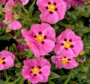 Cistus 'Pink Silk' - klippros - frö köp hos Plantanica