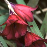 Dierama pulcherrimum 'BlackBird' - Änglametspö - frö köp hos Plantanica