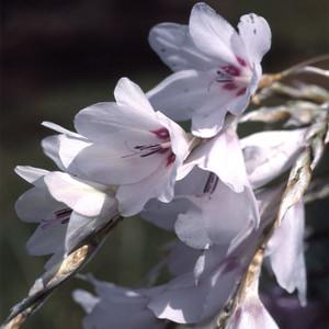 Dierama pulcherrimum 'SnowBells' - Änglametspö - frö köp hos Plantanica