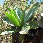 Agave elleemetiana - frö köp hos Plantanica