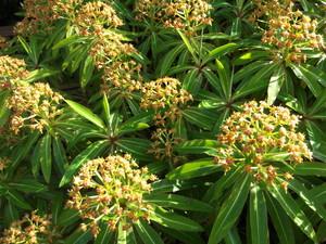 Euphorbia mellifera - frö köp hos Plantanica
