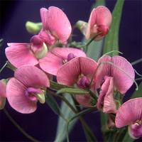 Lathyrus Sylvestris - Backvial - Skogsvial - frö köp hos Plantanica