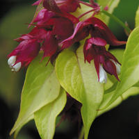 Leycesteria formosa 'Gold Leaf' - Himalaya Kaprifol - frö köp hos Plantanica