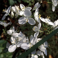 Libertia grandiflora - frö köp hos Plantanica